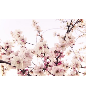 AP XXL2 - Cherry Blossom - 150g Vlies