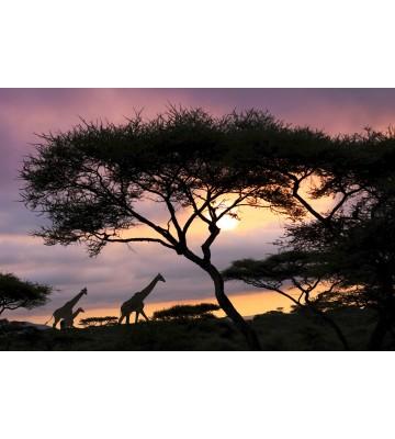 AP XXL2 - Giraffe At Sunset - SK Folie