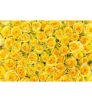 AP XXL2 - Yellow Roses - SK Folie