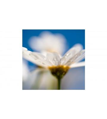DM106-1 Daisy 270*265