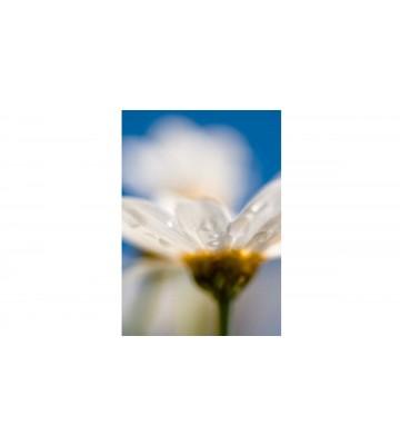 DM106-2 Daisy 180*265